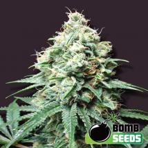 Kush Bomb Cannabis Seeds