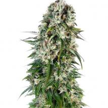 Big Bud Auto Cannabis Seeds
