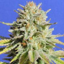 Gorilla Glue #4 Cannabis Seeds