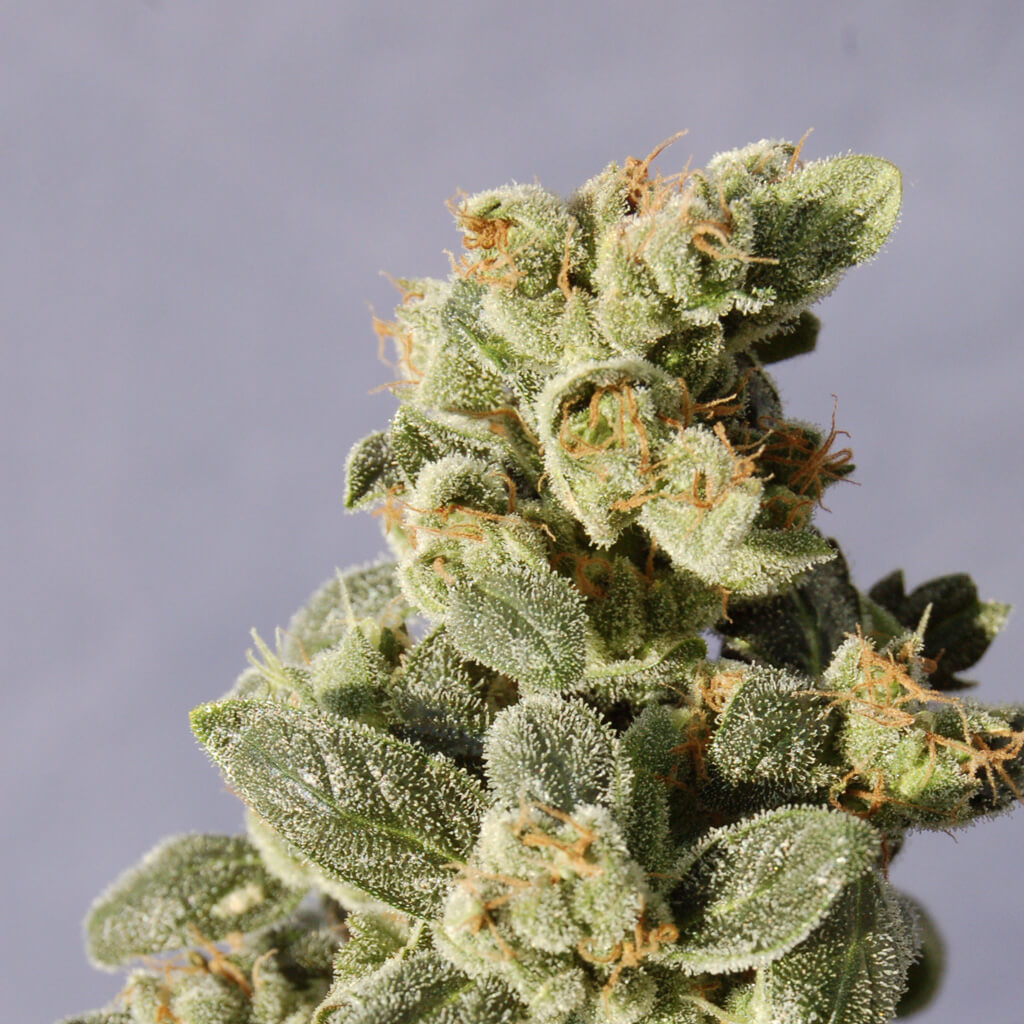 Buy Kannabia Seeds Gnomo Auto FEM