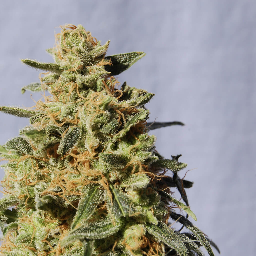 Buy Kannabia Seeds White Domina FEM