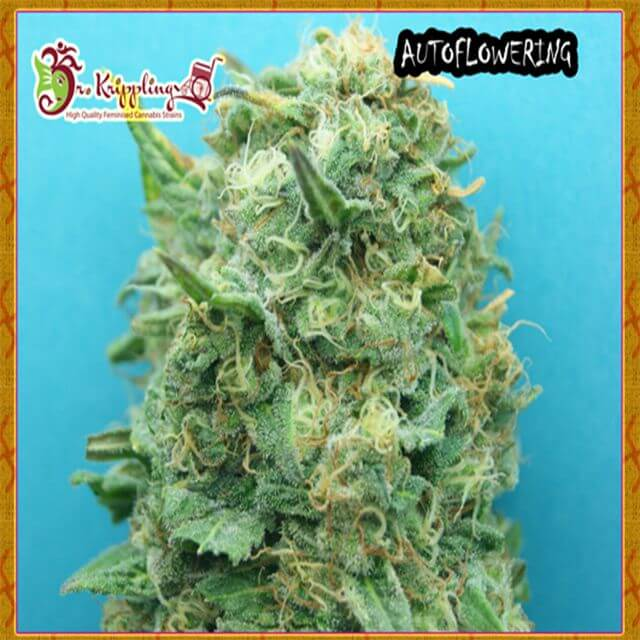 Buy Dr Krippling Seeds Dr Krippling Grand Heft Auto FEM