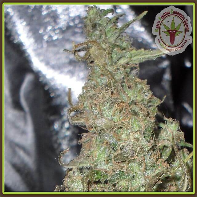 Buy Dr Krippling Seeds Melon Kali FEM