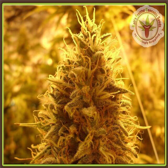 Buy Dr Krippling Seeds Puff Puff Pass Out FEM