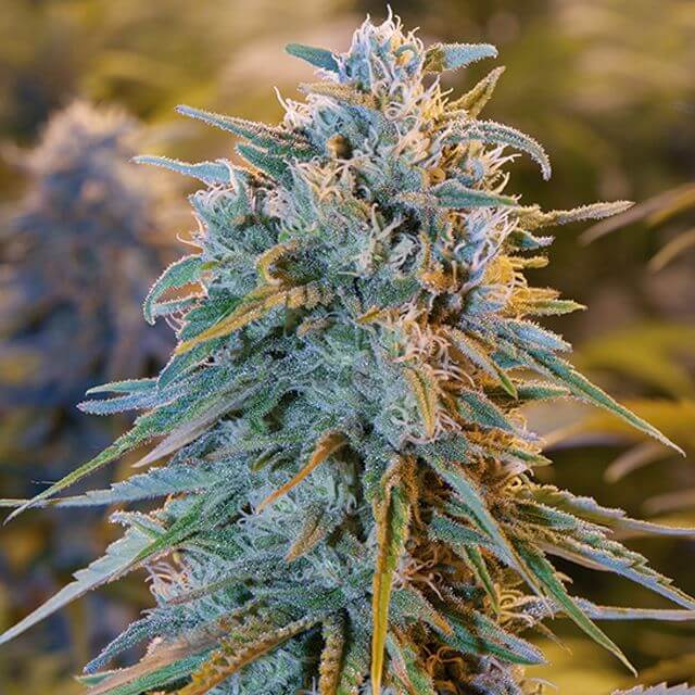 Buy Humboldt Seed Organization Blue Dream FEM