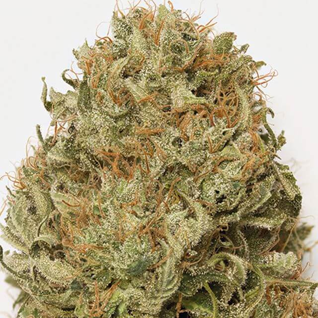 Buy Humboldt Seed Organization Blue Dream Auto FEM