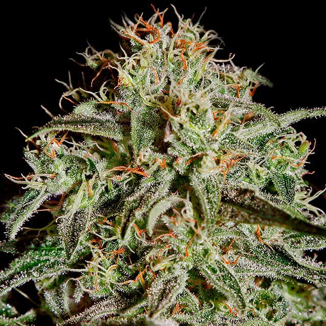 Buy Green House Seeds A.M.S FEM