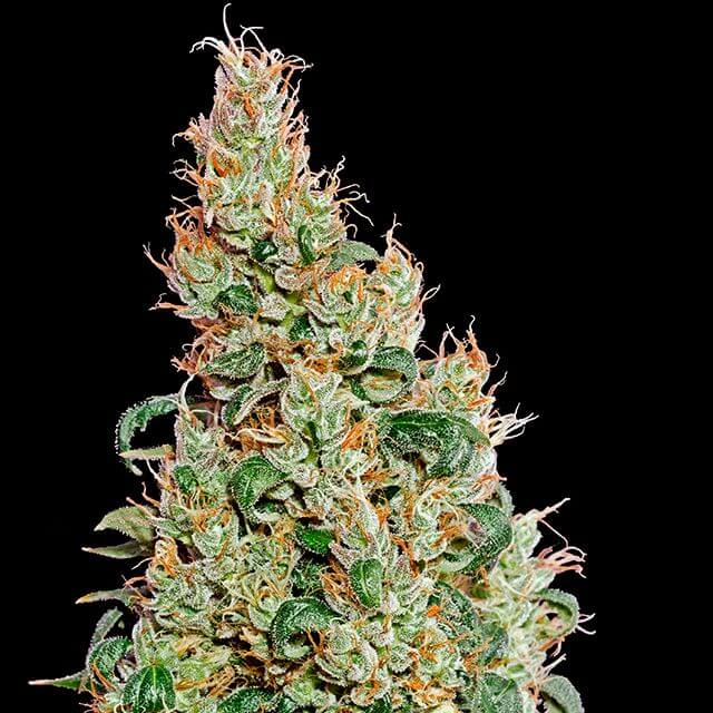 Buy Green House Seeds Green-O-Matic FEM