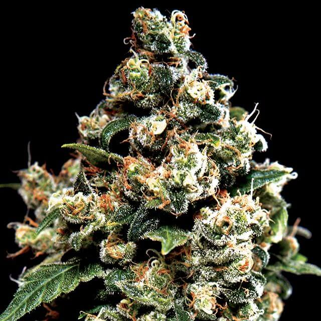Buy Green House Seeds Jack Herer FEM