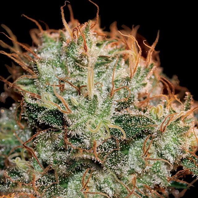 Buy Green House Seeds Kaia Kush FEM