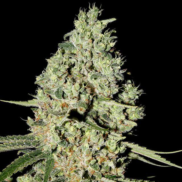 Buy Green House Seeds Super Critical FEM