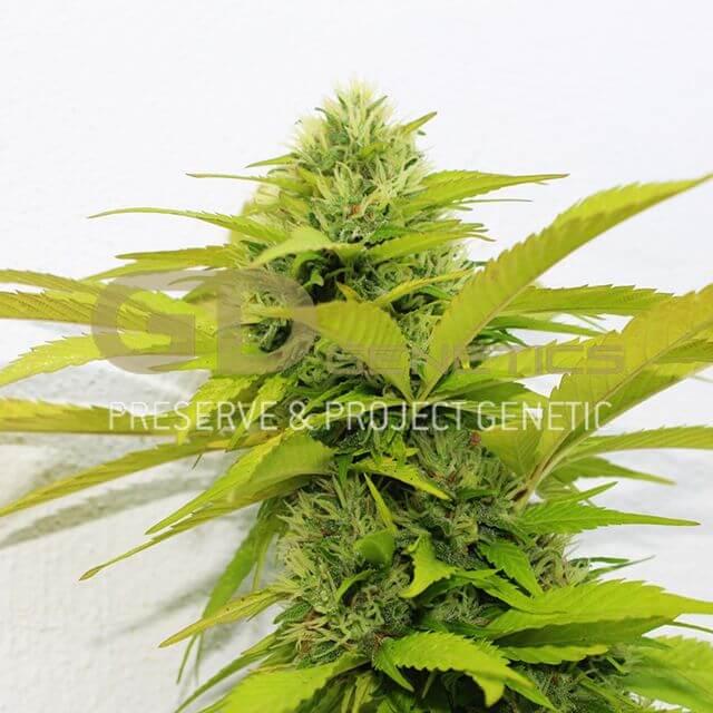 Buy Orange Kush Green Devil Seeds FEM | Original Seeds Store