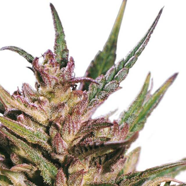 Buy Dutch Passion Seeds Passion #1 REG