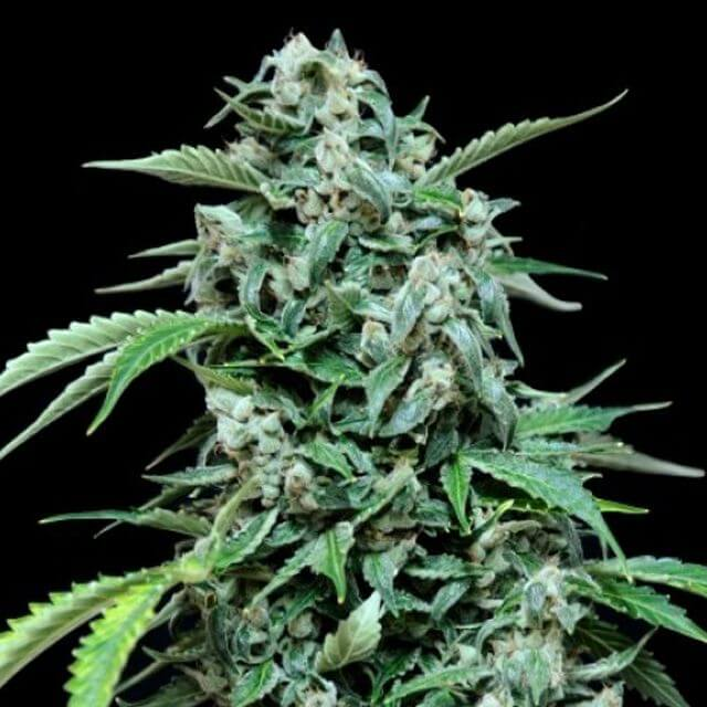 Buy Grassomatic Automatic Seeds Maxi Haze FEM