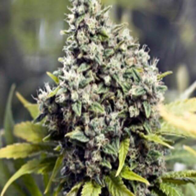 Buy Female Seeds Grapefruit FEM