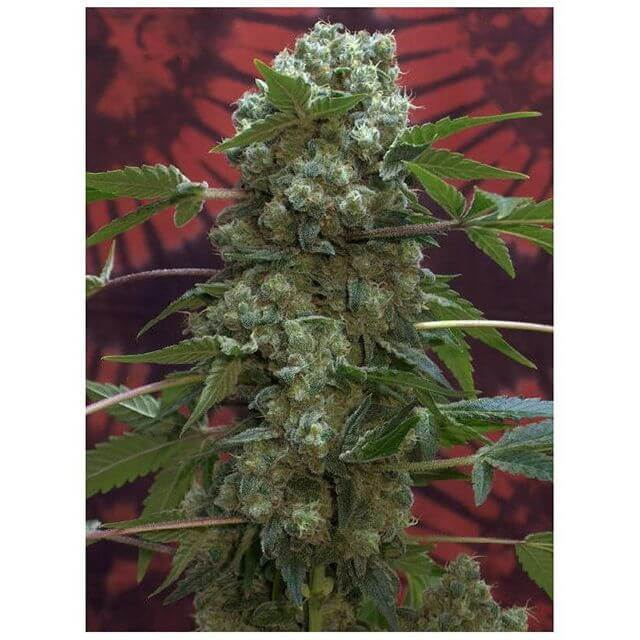 Buy Serious Seeds AK47 REG