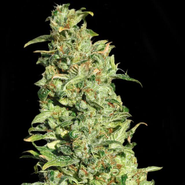 Buy Eva Female Seeds High Level FEM