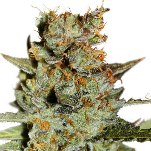 Buy Dutch Passion Seeds Auto Blueberry FEM