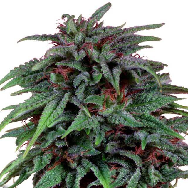 Buy Dutch Passion Seeds Durban Poison FEM