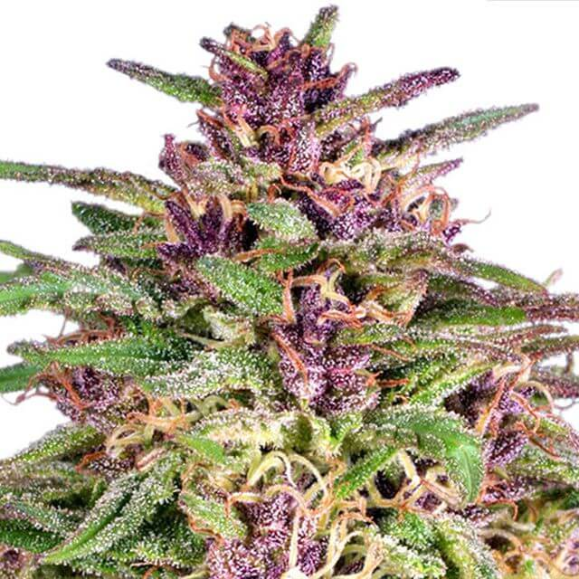 Buy Dutch Passion Seeds Frisian Dew FEM
