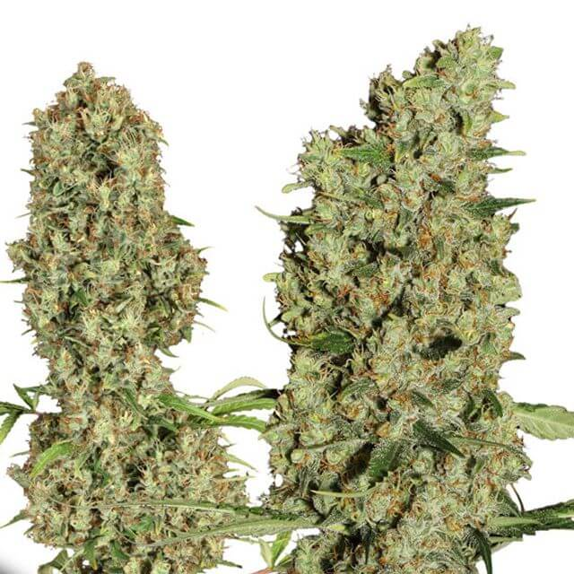 Buy Dutch Passion Seeds Jorges Diamond # 1 FEM