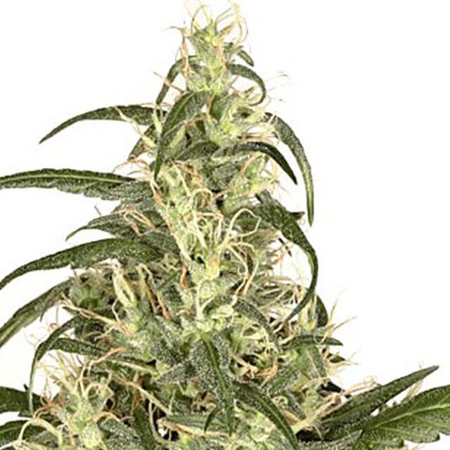 Buy Dutch Passion Seeds Skunk # 11 FEM