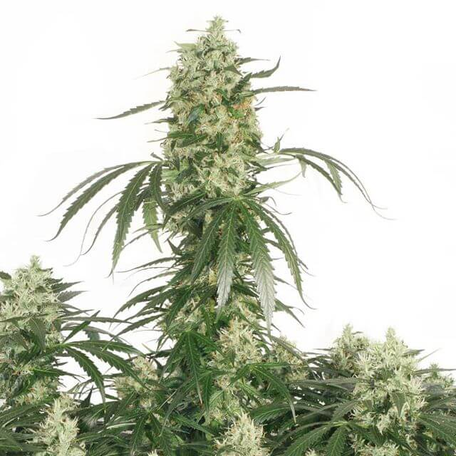 Buy Dutch Passion Seeds The Ultimate FEM