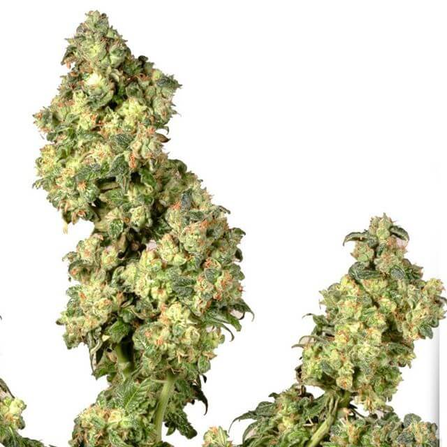 Buy Dutch Passion Seeds Ultra Skunk FEM