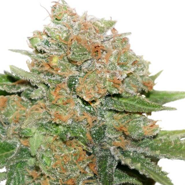 Buy Dutch Passion Seeds Night Queen FEM