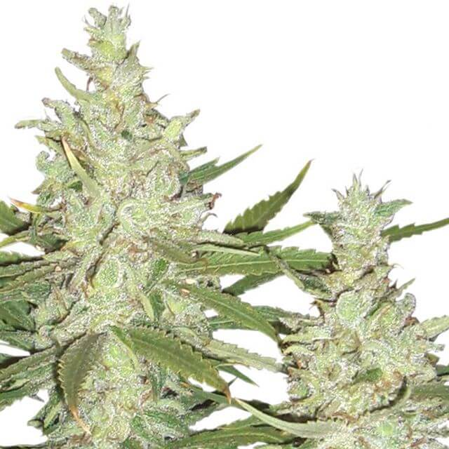 Buy Dutch Passion Seeds Outlaw FEM