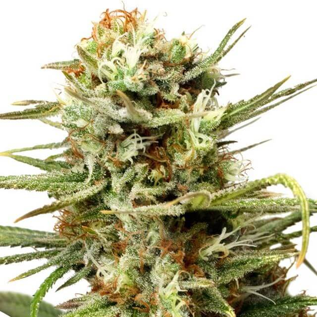 Buy Dutch Passion Seeds Auto White Widow FEM