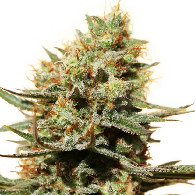 Buy Dutch Passion Seeds The Edge FEM