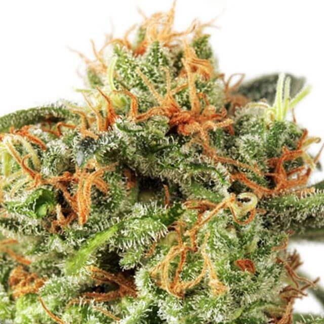 Buy Dutch Passion Seeds Orange Hill Special FEM