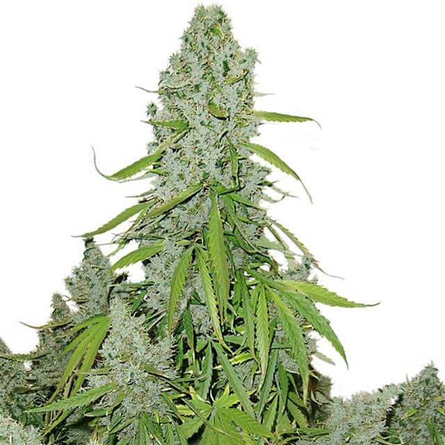 Buy Dutch Passion Seeds Auto Ultimate FEM