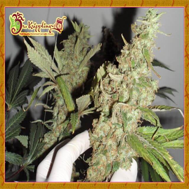 Buy Dr Krippling Seeds Afghan Cow FEM