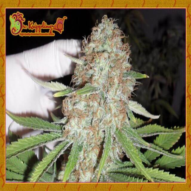 Buy Dr Krippling Seeds Blue Kripple FEM