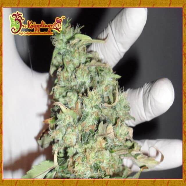 Buy Dr Krippling Seeds Buzz Light Gear FEM
