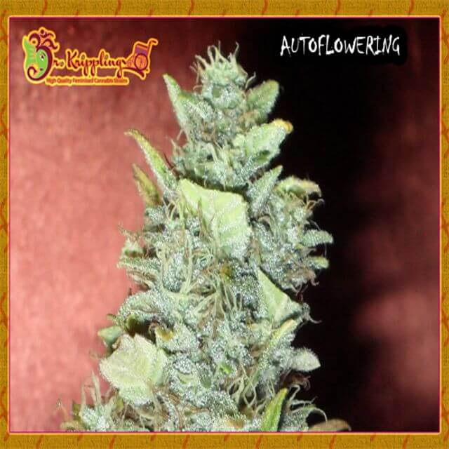 Buy Dr Krippling Seeds Bubba Yum Auto FEM