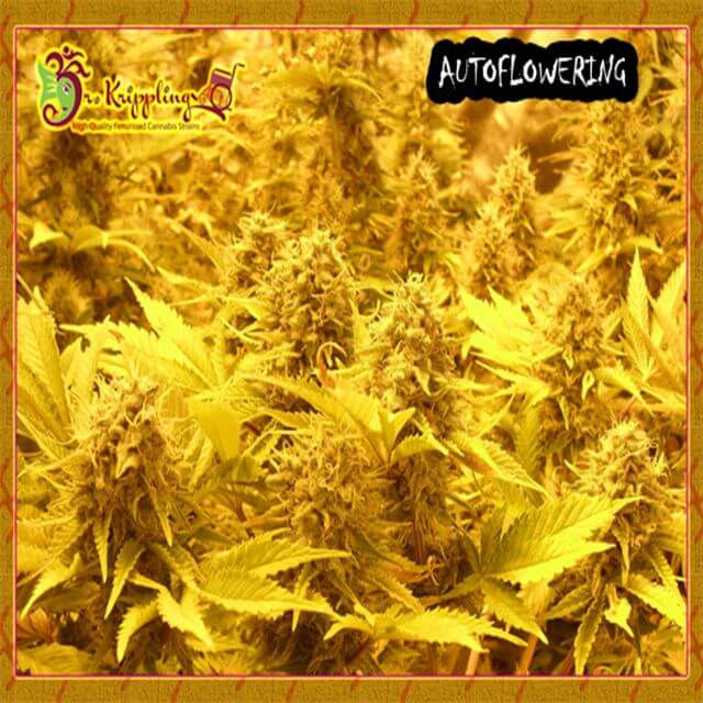 Buy Dr Krippling Seeds Choc Matic Auto FEM