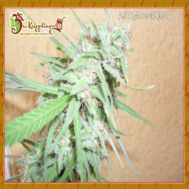 Buy Dr Krippling Seeds Spinning Buzz Kick Auto FEM