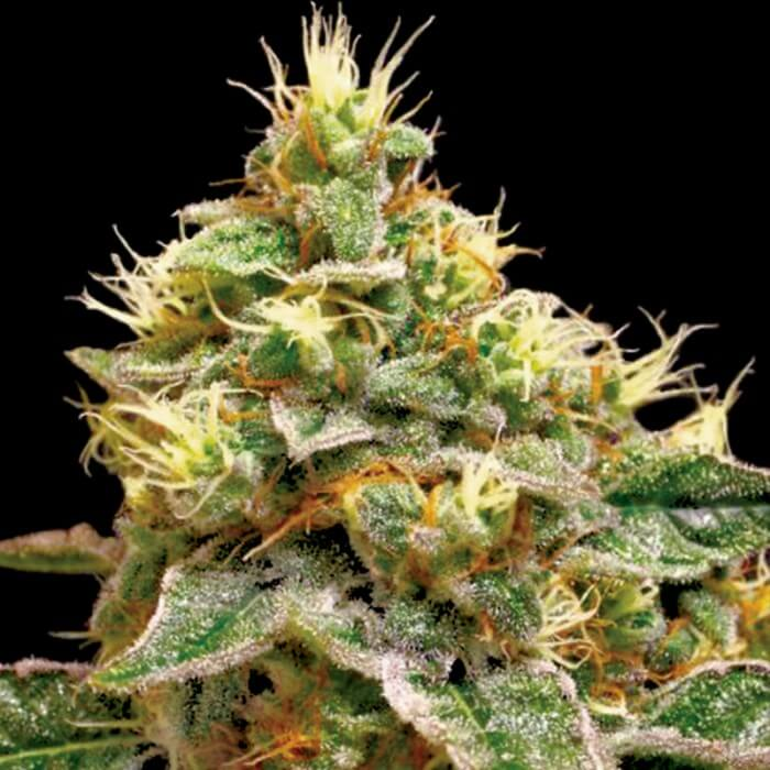 Buy DNA Reserva Privada Seeds Confidential Cheese FEM