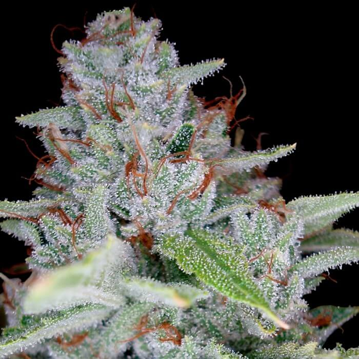 buy skywalker kush dna reserva privada seeds fem