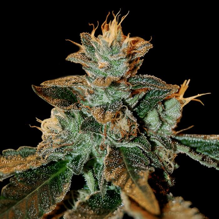 Buy DNA Genetics Seeds Cataract Kush FEM