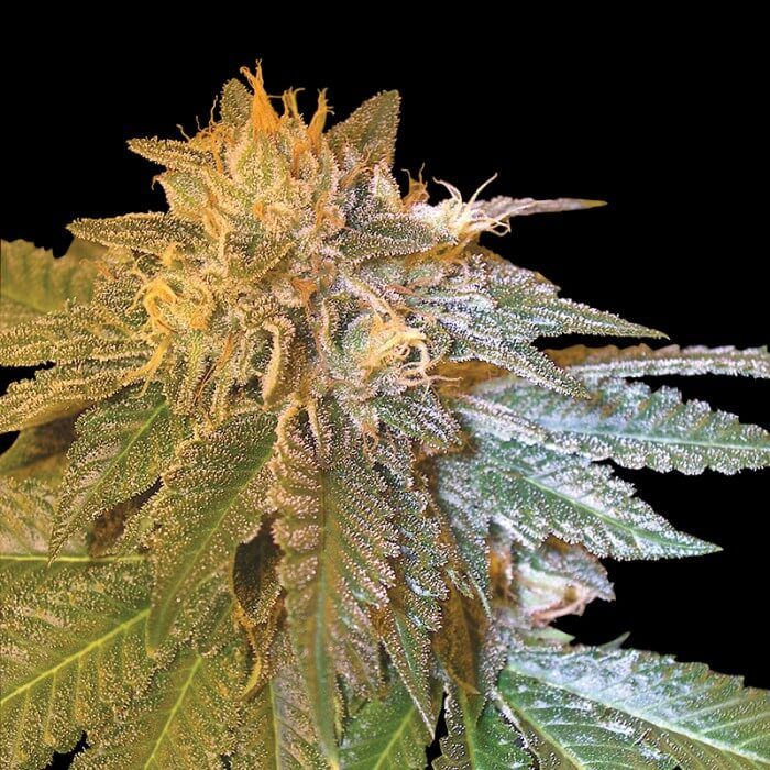 Buy Grand Daddy Purple seeds  LA Confidential FEM