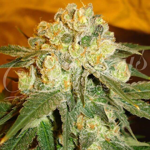 Buy Delicious Seeds Marmalate FEM