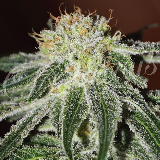 Buy Delicious Seeds Black Russian FEM