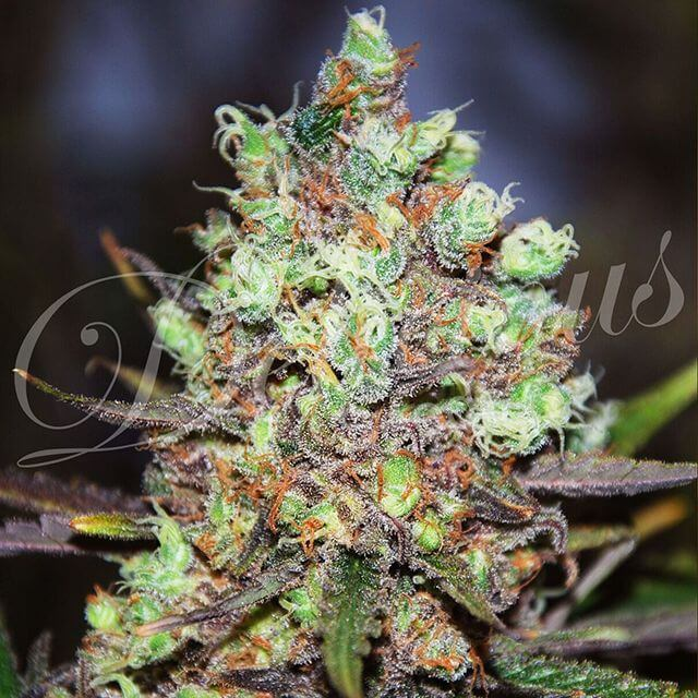 Buy Delicious Seeds Cotton Candy FEM