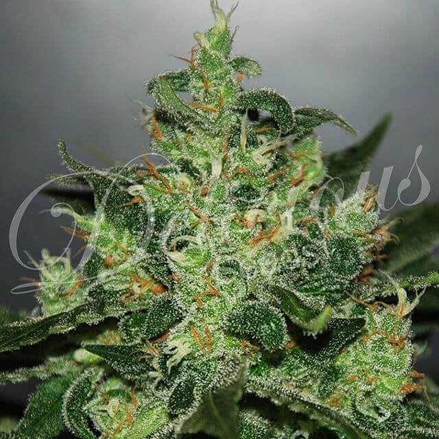 Buy Delicious Seeds Critical Jack Herer Auto FEM
