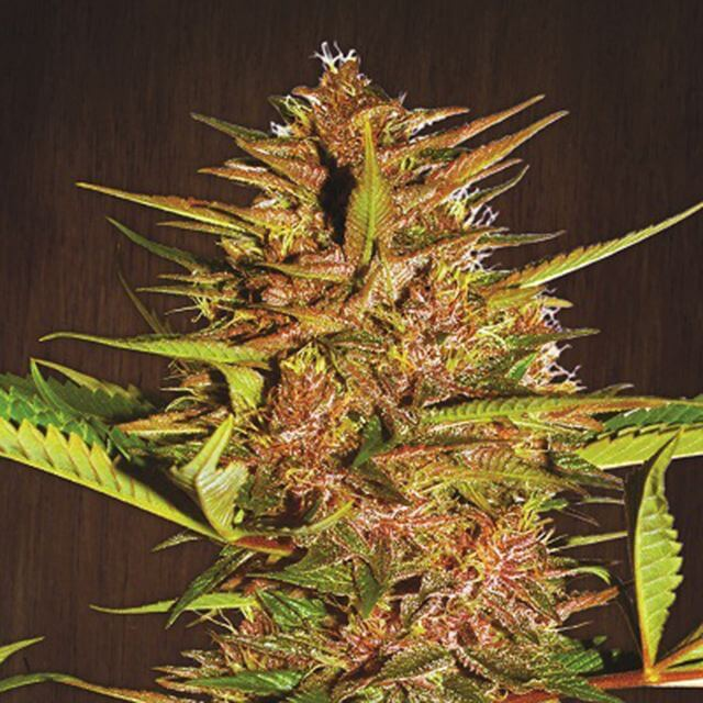 Buy Ace Seeds Pakistan Chitral Kush REG