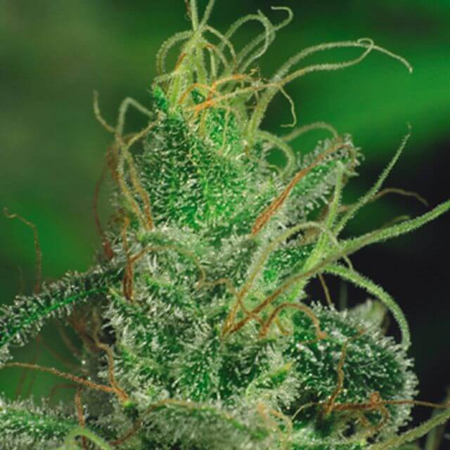 Buy De Sjamaan Seeds Magic Crystal REG